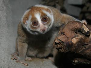V Zoo Praha je adoptováno přes 450 druhů zvířat. Největší zájem je o outloně nebo tučňáky