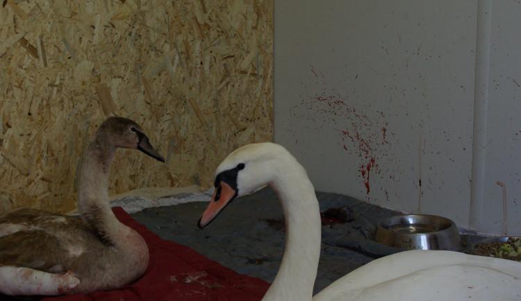 FOTO: Při silvestrovských oslavách v Praze bylo zraněno šest labutí. Jedna zemřela