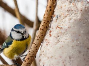 Lidé po celém Česku počítají ptáky v krmítku. Informace pomůžou ornitologům