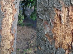 Smrky v Riegrových sadech v centru Prahy napadl kůrovec. Tři stromy byly pokáceny