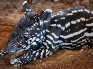 VIDEO: V pražské zoo se narodil tapír. Je to teprve druhé odchované mládě tapíra v Zoo Praha