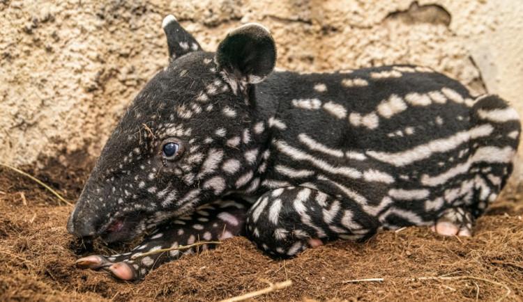 VIDEO: Malý tapír z pražské zoo dostal jméno podle svého maskování, které připomíná morseovku