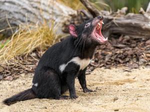 Ďábli medvědovití i průchozí výběh klokanů. Pražská zoo otevře Darwinův kráter
