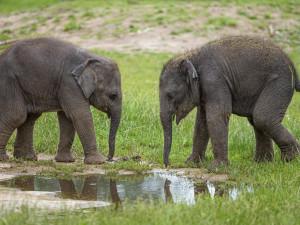 Sloní mláďata z pražské zoo dostala jména Amalee a Lakuna