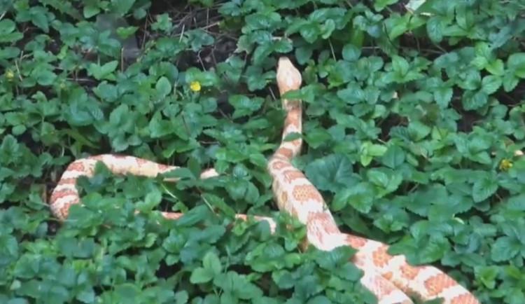 VIDEO: Strážníci odchytili hada ve vnitrobloku domu v Holešovicích