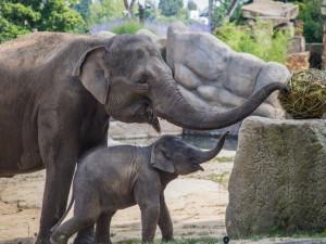 FOTO: V pražské zoo slavili Světový den slonů. Zvířata si pochutnala na zmrzlině