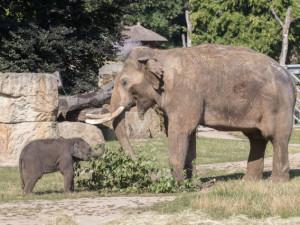 Sloní samičky poprvé strávily několik hodin s otcem. Jak si společný čas užili?