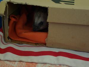 V záchranné stanici pro zvířata v Praze shánějí noviny i krabice pro ježky