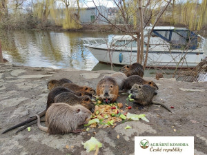Lidé by podle české agrární komory neměli krmit nutrie. Zvířata napáchají více škody než užitku