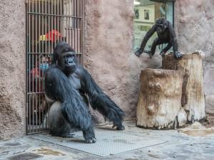 Koronavirem onemocněli lvi a gorilí samec Richard z pražské zoo. Nakazili se zřejmě od chovatelů