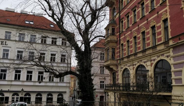 Další spory ohledně javoru v Praze 1, který má být pokácen. Na stromě podle vedení Prahy 1 žádný holub není