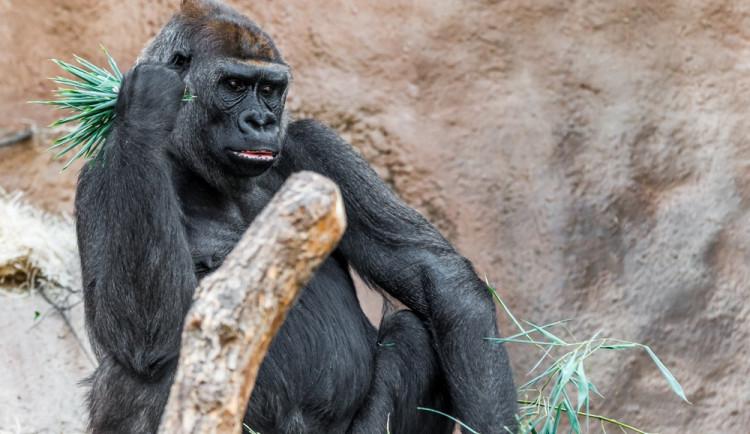 V pražské zoo zemřela gorila. Zřejmě následkem poranění
