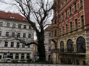 Praha Sobě znovu neuspěla s usnesením proti kácení javoru v Praze1. Chce svolat další mimořádné jednání