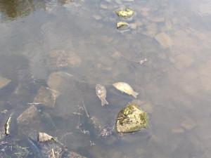 Na dvou rybnících v Praze uhynuly ryby. Na místě zasahují hasiči