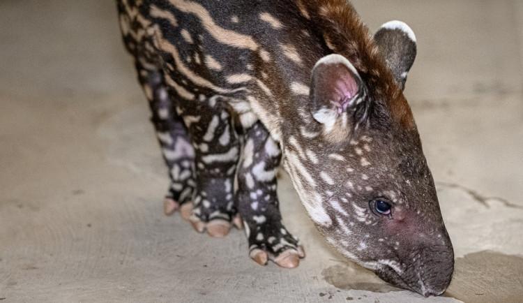 V pražské zoo se letos narodilo již 272 mláďat. Před týdnem přišel na svět malý tapír