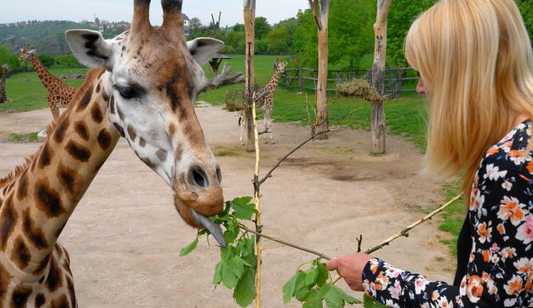 V pražské zoo zemřela druhá nejstarší žirafa v Evropě. Veterinář uspal pětadvacetiletouElišku