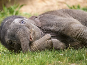 V pražské zoo oslavila své první narozeniny slonice Amalee