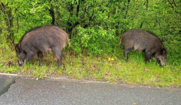 Divoká prasata v Praze ohrožovala řidiče i cestující v MHD, nakonec sama odešla