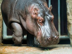 Hroch Fanda z pražské zoo včera odjel do Francie. V Pavilonu hrochů zůstávají Maruška a Tchéco