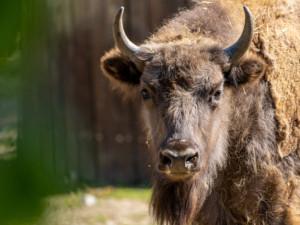 Zubří samice Prixi míří z pražské zoo do volné přírody