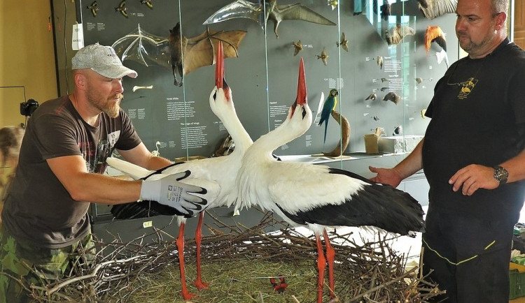 Experti ze záchranné stanice vyráběli čapí hnízdo pro novou expozici Národního muzea