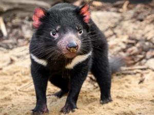 V pražské zoo mohou návštěvníci nově sledovat krmení tasmánských čertů