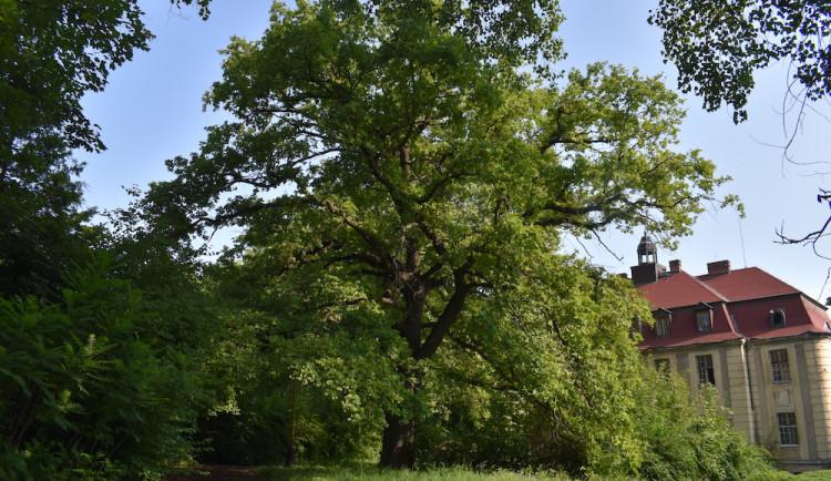 Dub u zámku Veleslavín se stal Stromem roku Prahy 6. Šestka chce zpřístupnit zámecký areál veřejnosti
