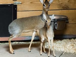 Mládě nejmenší antilopy na světě je možné pozorovat v pražské zoo