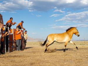 Transporty koní Převalského z pražské zoo na východ Mongolska začnou v průběhu příštích let